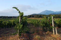 Vineyard in eastern plain of Corsica Royalty Free Stock Photos