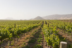 Vineyard in Edna Valley stock photo