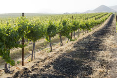 Vineyard in Edna Valley Royalty Free Stock Images