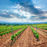 Vineyard in El Bierzo of Leon by Saint James Way Stock Photos