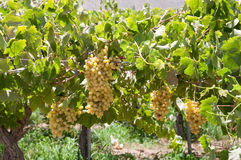 Vineyard at Elqui valley  (Chile) Royalty Free Stock Photography