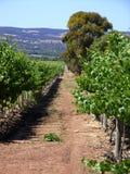 Vineyard & Eucalypts 4. Photo taken in the McLaren Vale (Primo Estate, South Australia) featuring a vineyard and Australian Eucalyptus trees stock photos