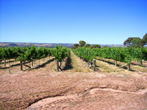 Vineyard & Eucalypts 6 Stock Image