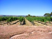 Vineyard & Eucalypts 6. Photo taken in the McLaren Vale (Primo Estate, South Australia) featuring a vineyard and Australian Eucalyptus trees stock image