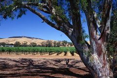 Vineyard and Eucalyptus Stock Images