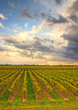 Vineyard in the evening. With cloudy sky Royalty Free Stock Image