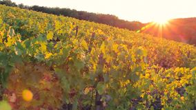 Vineyard in the evening at sunset in autumn - panning camera. Nature stock footage