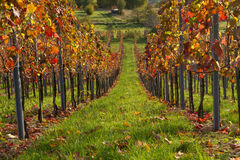 Vineyard in the fall. Allee in the vineyard in the fall Stock Photography