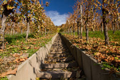 Vineyard in the fall. Rows of vine in autumn Royalty Free Stock Photos
