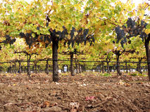 Vineyard in the fall. Vineyard with blue grapes (Merlot) for wine making ready to be picked Royalty Free Stock Photos