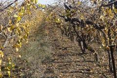 Vineyard in fall Royalty Free Stock Photo