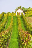 In the Vineyard in Fall Royalty Free Stock Photography