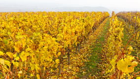 Vineyard Fall Colors Royalty Free Stock Photos