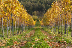 Vineyard in fall. Colors Royalty Free Stock Photography