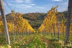 Vineyard in fall. Colors Royalty Free Stock Photo