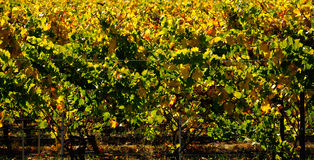 Vineyard in Fall Colors. MCU Vines backlit in autumn fall colors Sonoma Napa area California wine country Royalty Free Stock Photo