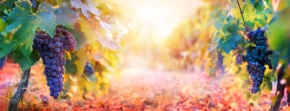 Vineyard In Fall Harvest With Ripe Grapes Stock Photography
