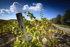 Sardinia.Vineyard stock photography
