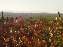 Vineyard in the fall. Near the Palava area Royalty Free Stock Image