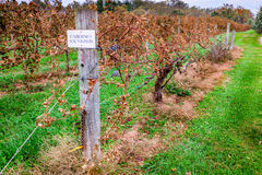 Vineyard in fall. Rows of dry grape vines in a vineyard in Central Kentucky Royalty Free Stock Photography