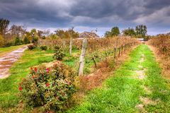 Vineyard in fall. Rows of dry grape vines in a vineyard in Central Kentucky Stock Image