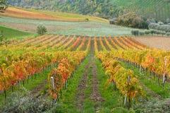 Vineyard in fall Stock Photos