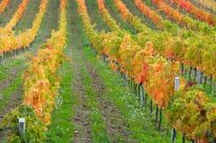 Vineyard in fall Stock Photo