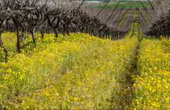 Vineyard in fall and signs of spring Stock Photography