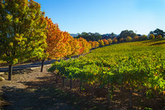 Vineyard in the fall Stock Photos
