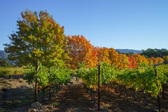 Vineyard in the fall Royalty Free Stock Photography