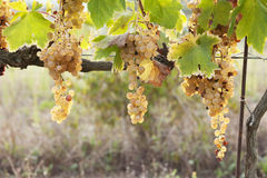 Vineyard during fall in Tuscany Royalty Free Stock Photo