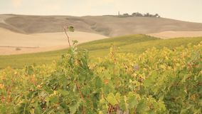 Vineyard during fall in Tuscany stock footage