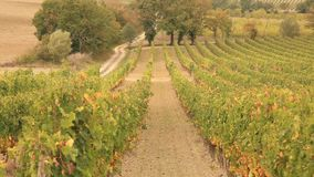 Vineyard during fall in Tuscany stock video footage