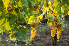 Vineyard during fall in Tuscany Stock Photos