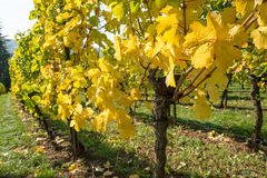 Vineyard in fall Royalty Free Stock Photo