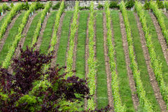 Vineyard in the famous wine making region - Loire Valley Royalty Free Stock Photography