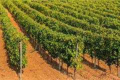 Vineyard farm Stock Image