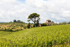Vineyard and farmhouse with cypresses in Tuscany. Vineyard in front of a farmhouse with oak tree and cypresses in Tuscany, Italy royalty free stock images