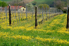 Vineyard on farmland 1(Vitigno in campagna). Rows of wine in the country of Piacenza (Italy Stock Photography
