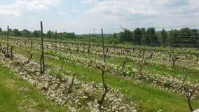Vineyard. Fence at Vineyard Royalty Free Stock Photo