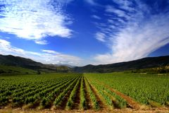 Vineyard field. In macedonia Royalty Free Stock Photo