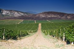 Vineyard field. With blue sky Stock Images