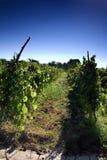 Vineyard field. With blue sky stock photo