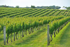 Vineyard field Stock Photos