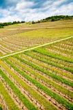 Vineyard field Royalty Free Stock Image