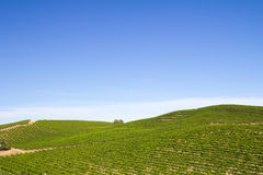 Vineyard field. During summer in Sonoma County, California Royalty Free Stock Images