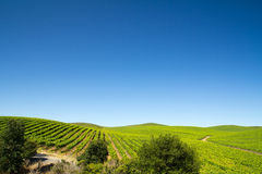 Vineyard field. During summer in Sonoma County, California Stock Photography