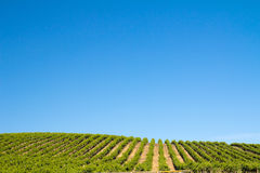 Vineyard field. During summer in Sonoma County, California Royalty Free Stock Image