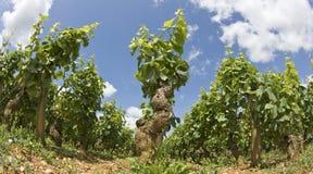 Vineyard, field in Bourgogne, Burgundy. Stock Photography