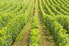 Vineyard,field in Bourgogne. France Royalty Free Stock Photography